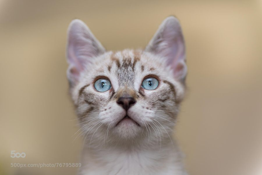 Cosmo! by paoul81 90mm,AF,D600,Di,F2.8,SP,cat,chat,chaton,cosmo,macro,nikon,petit,small,tamron,beautiful,bokeh,cute,feline,funny,kitten,little,little cat,lovely,sweet