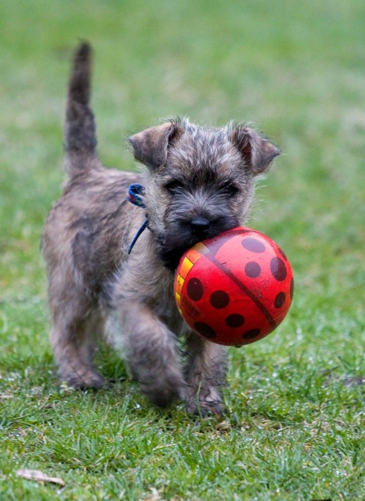 Cool Cairn Terrier Puppy Playing Ball Wallpaper Mobile Phone