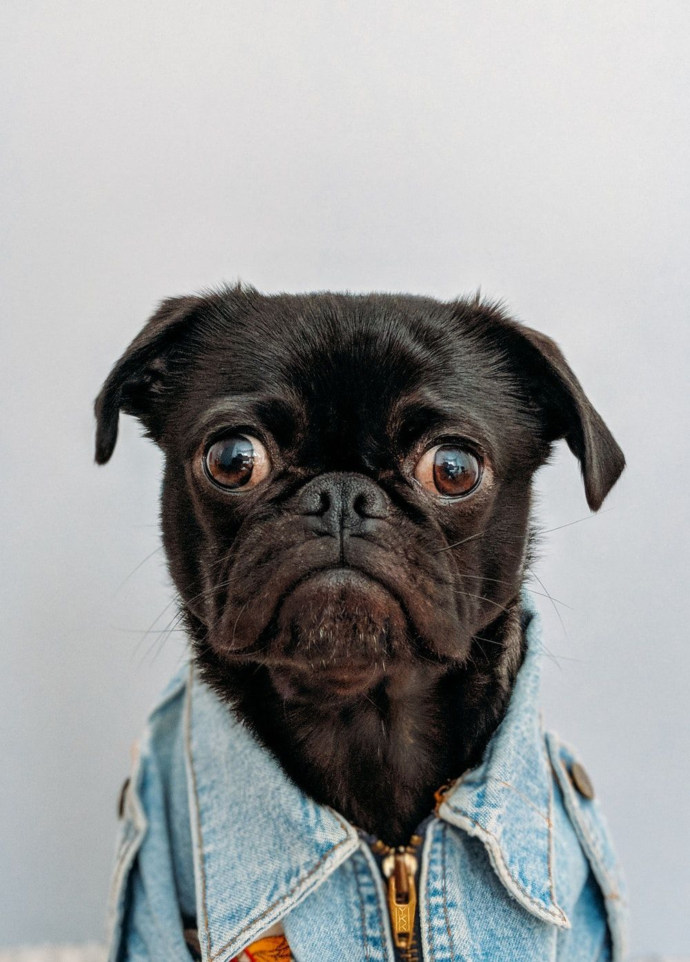 Black Pug Wearing A Jean Jacket Pugs Pug Big Dogs Dogs Dogs