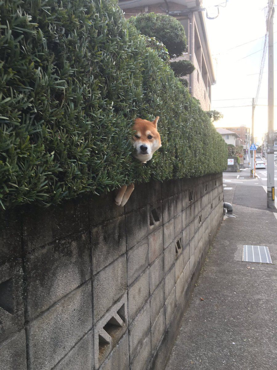 Oh My Shiba柴犬 Cute Animals Cute Dogs Funny Animals