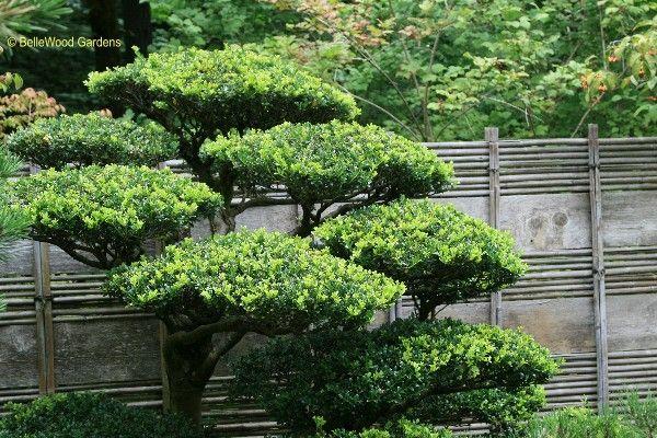 Gardenia Jasminoides In Japanese Garden Cloud Pruning   Google Search