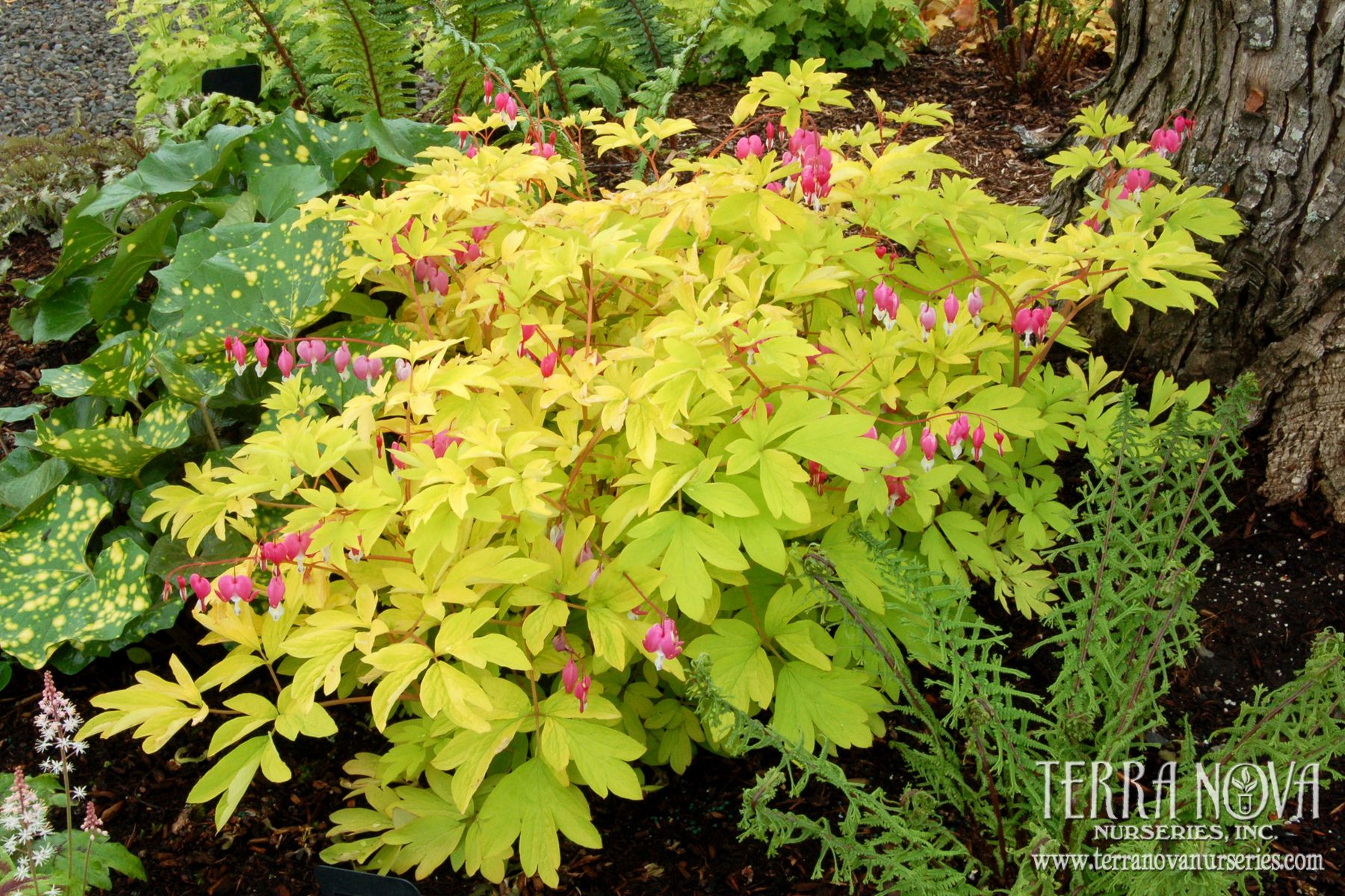 Professional Growers Dicentra Gold Heart Plants Shade Plants Plant Breeding