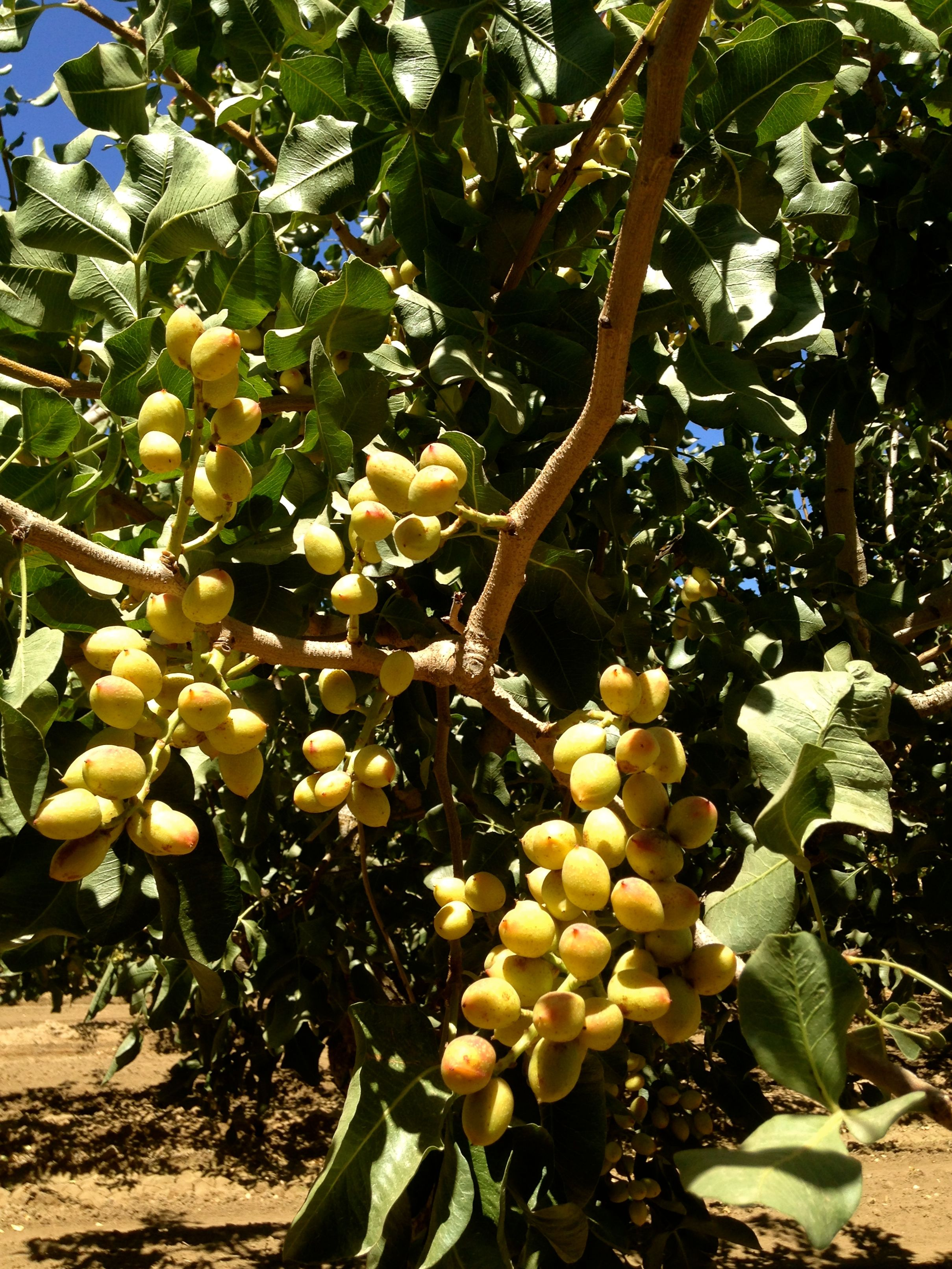 Growing Pistachios: Pistachio Nut Clusters Naturally Ripen On The Branch
