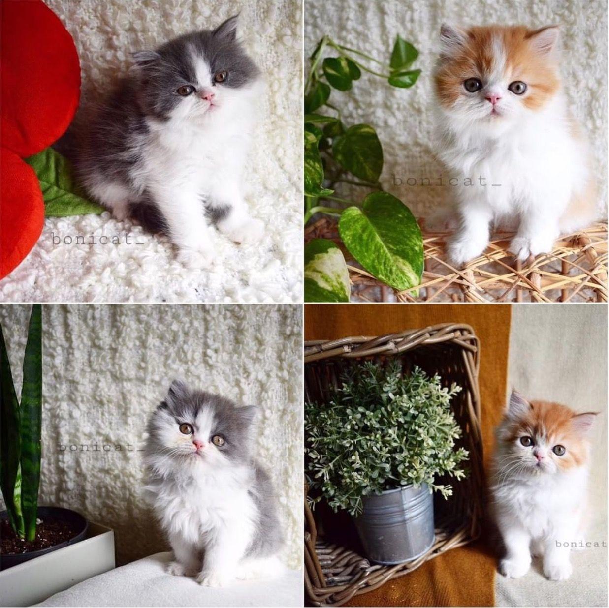 معلومات عن الاإعلان للبيع ٤ قطط صغيرة مستويات جميلة العمر شهرين واسبوع صحة جيدة وخالية من الأمراض ٢ ذكور و٢ اناث السعر ١٠٠٠ ريال لكل واحد في حال أخذ ا