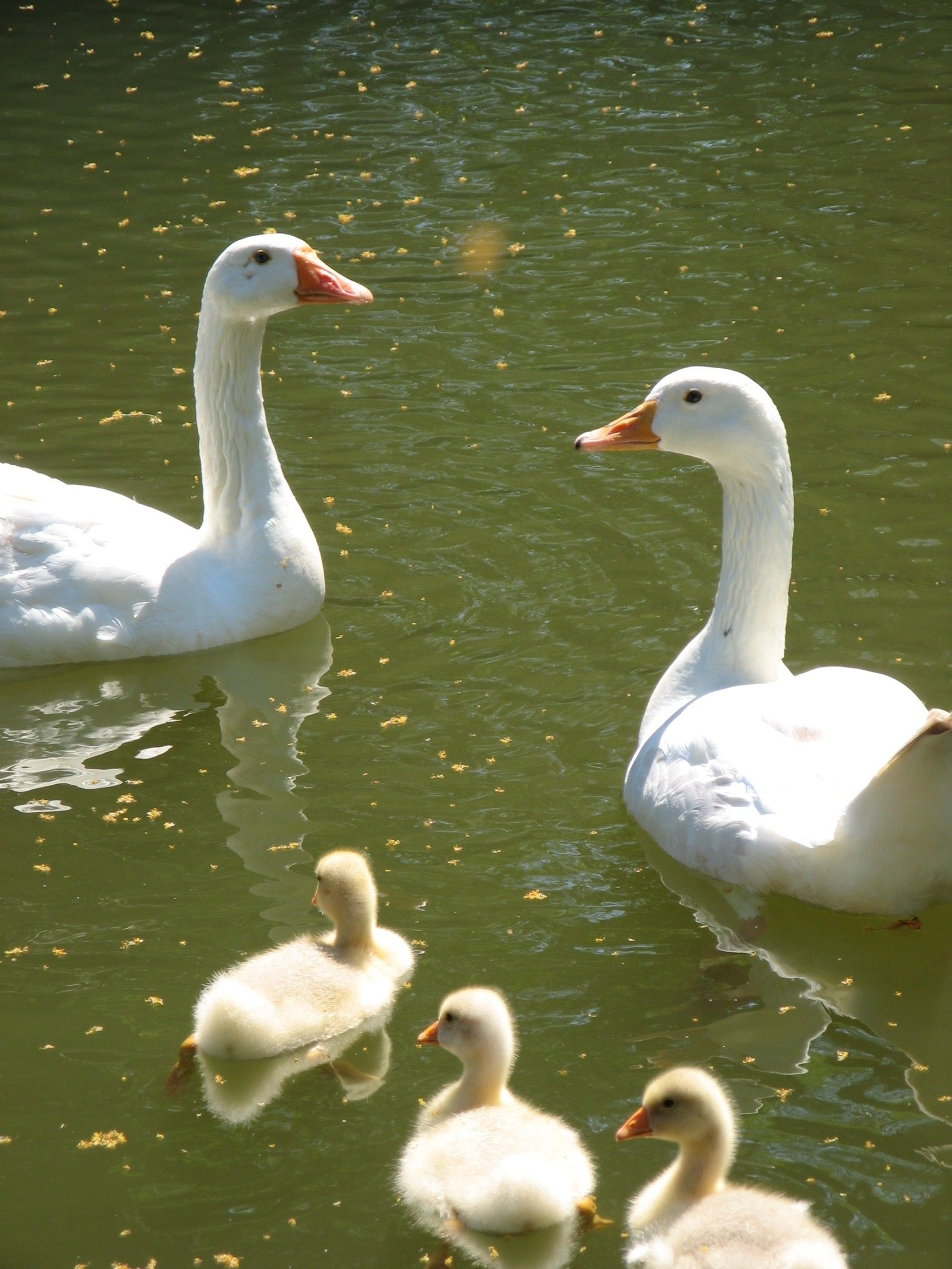 Domestic goose family #Family #Goose