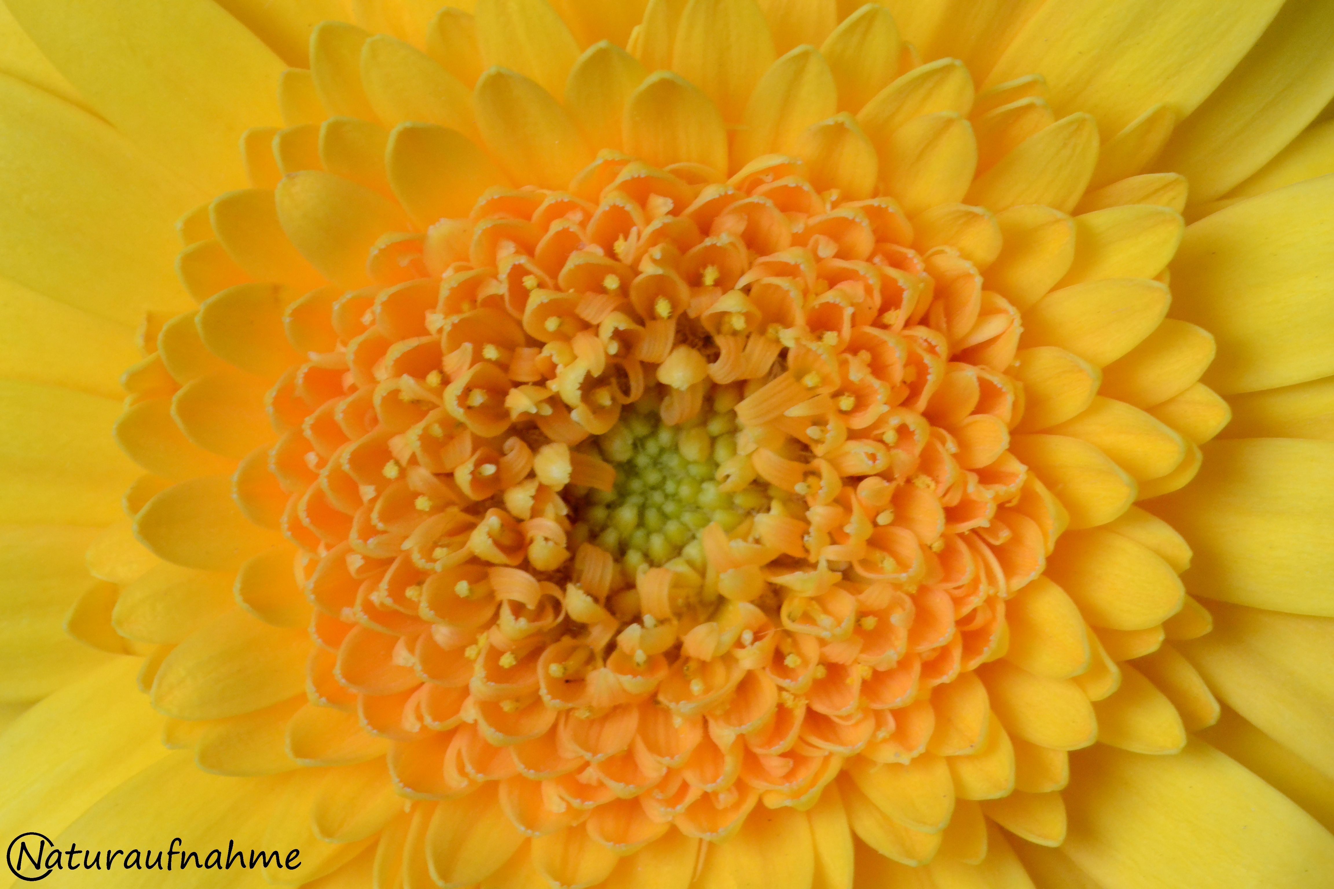 Fotos © by Silke Winter: Gelbe Blume (Nahaufnahme) - www.natur-aufnahme.de