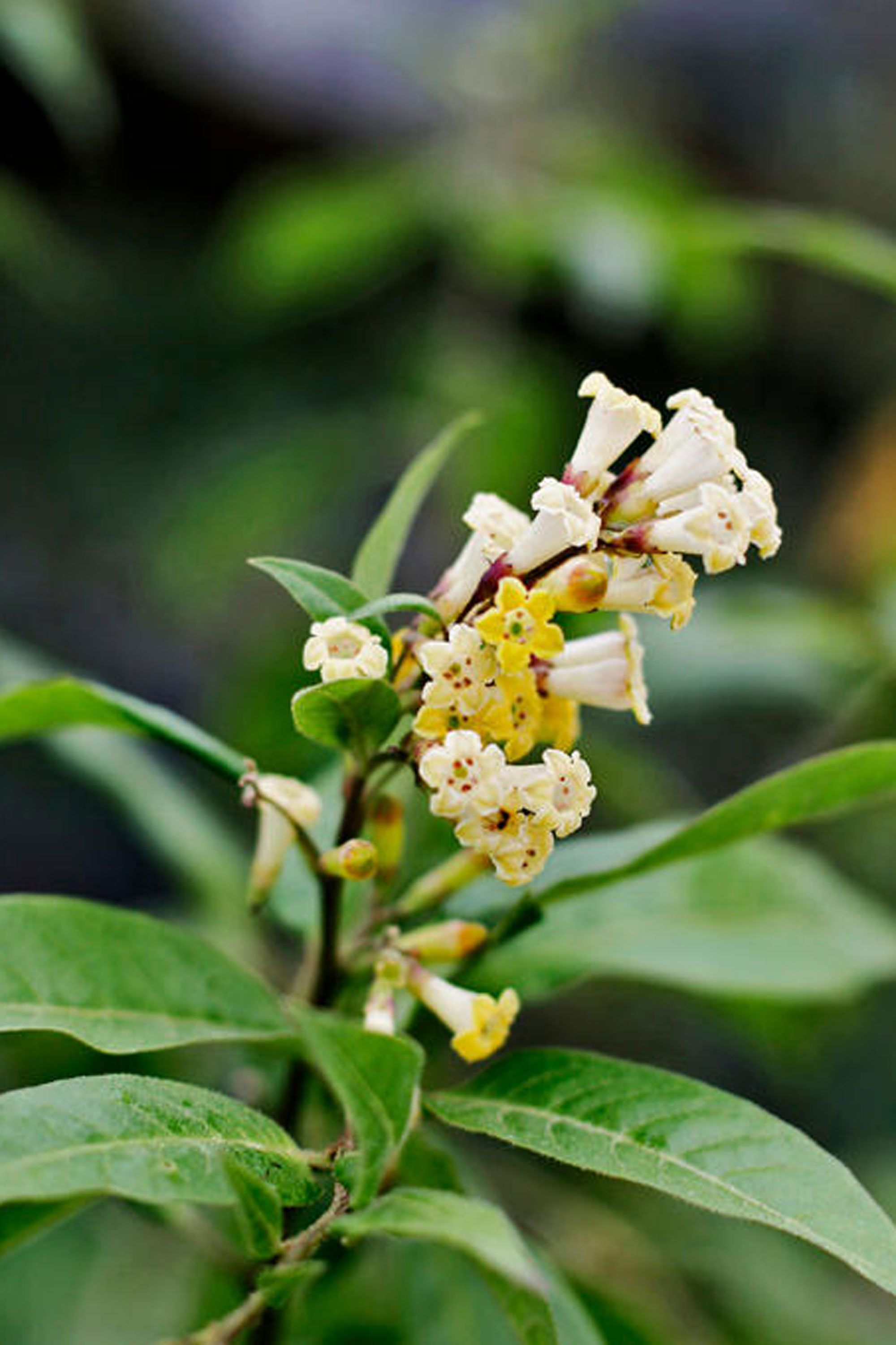 11 fragrant night blooming flowers that will make your evenings so the plant blooms from spring through fall flourishes in containers and is hardy to zone nightblooming jasmine fragrant izmirmasajfo