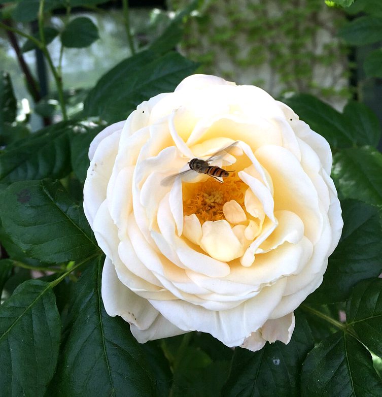 Even this bee has fallen in love with our marvelous white rose blossom!