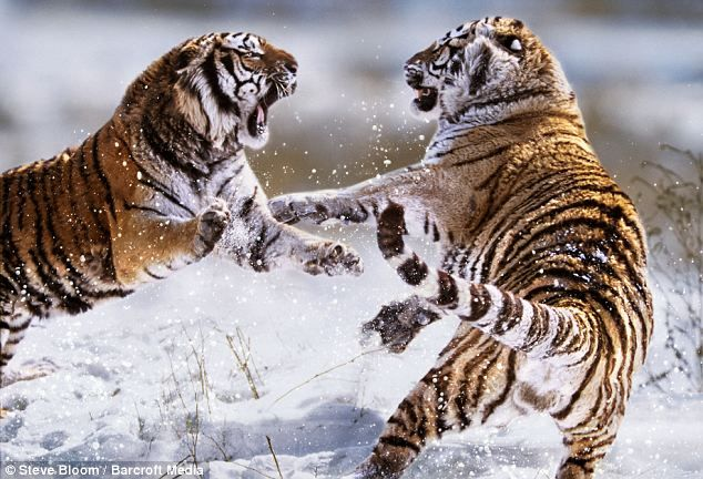 Snow Tiger Habitat | ... Conflict' series shows two Siberian tigers fighting in northern China