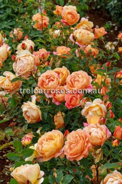 'Lady Of Shalott' rose has golden-orange flowers