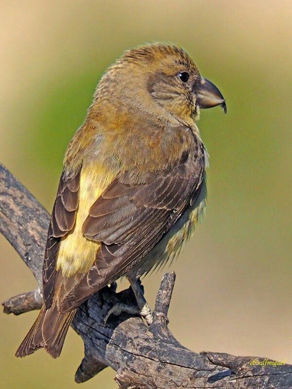Piquituerto común(Loxia curvirostra). Se reproduce en los bosques de Picea en América del Norte, en Europa, y en Asia.
