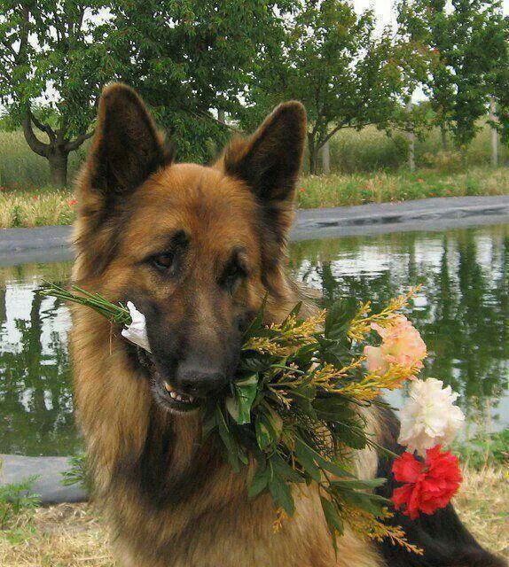 Alsation Flowers Dogs Beautiful Dogs Dog Cat