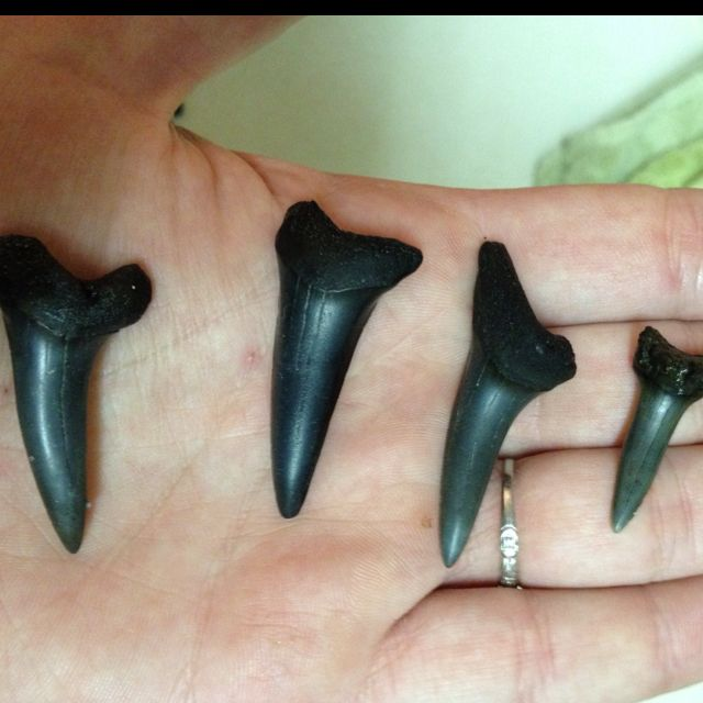 Fossil Bull Shark Teeth Amelia Island Is A Great Place To Hunt Sharks Myrtle Beach