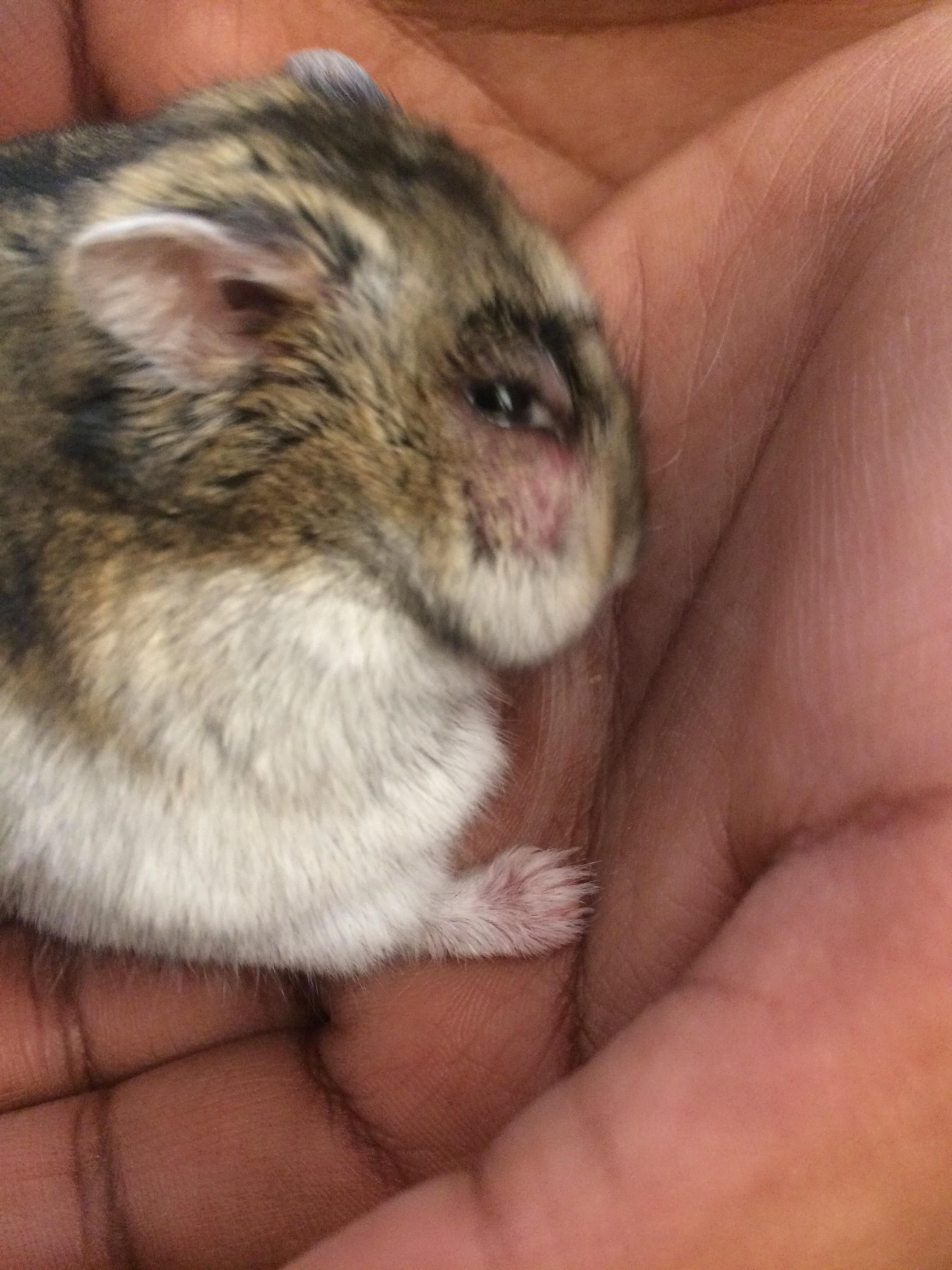 My Hamster Honey Has A Tumour Bless Her Soul And Wish Her Luck We Bought Medicine From Our Local Vet Https Ift Tt 2tu7v73 Cute Hamsters Hamster Vets