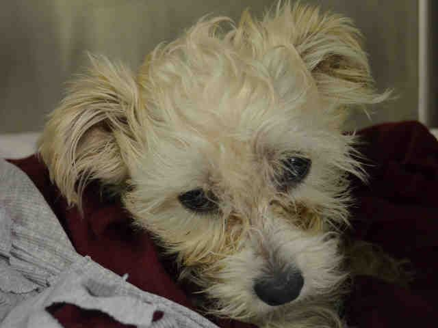 SAFE 4/30/2015 by Second Chance --- Manhattan Center BOLT – A1034765 I am an unaltered male, white Maltese and Yorkshire Terrier. The shelter staff think I am about 5 years old. I was found in NY 10459. I have been at the shelter since Apr 29, 2015.