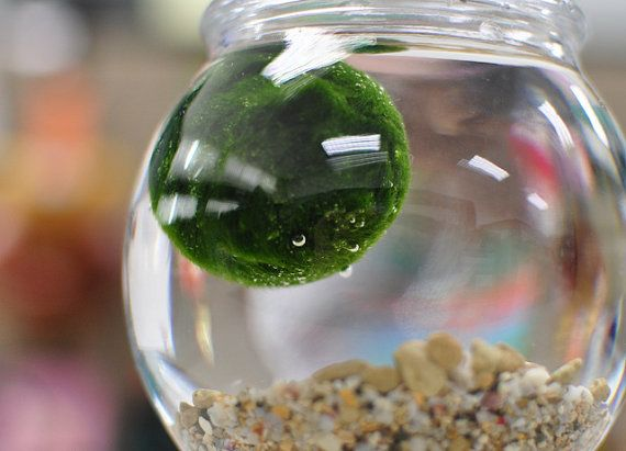 1pc Japan Marimo Moss Ball 10mm Aegagropila Linnaei Syn Cladophora