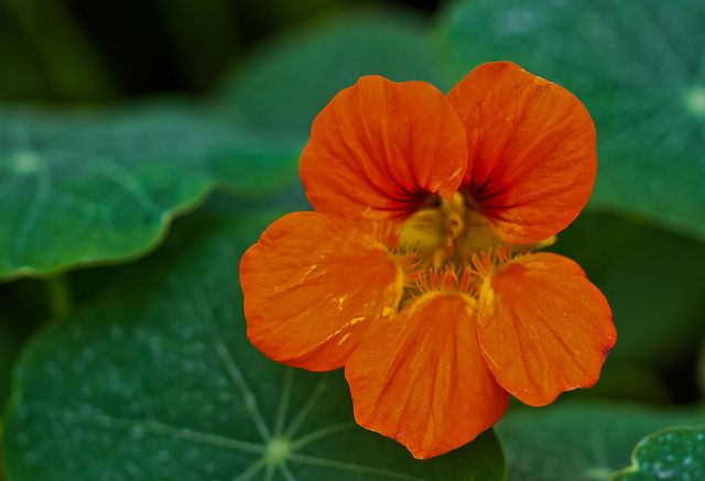 Orange Nasturtium Morning Glory Flowers Beautiful Flowers