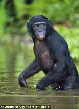 he ain't heavy, he's my bonobo brother: chimpanzees play piggy back