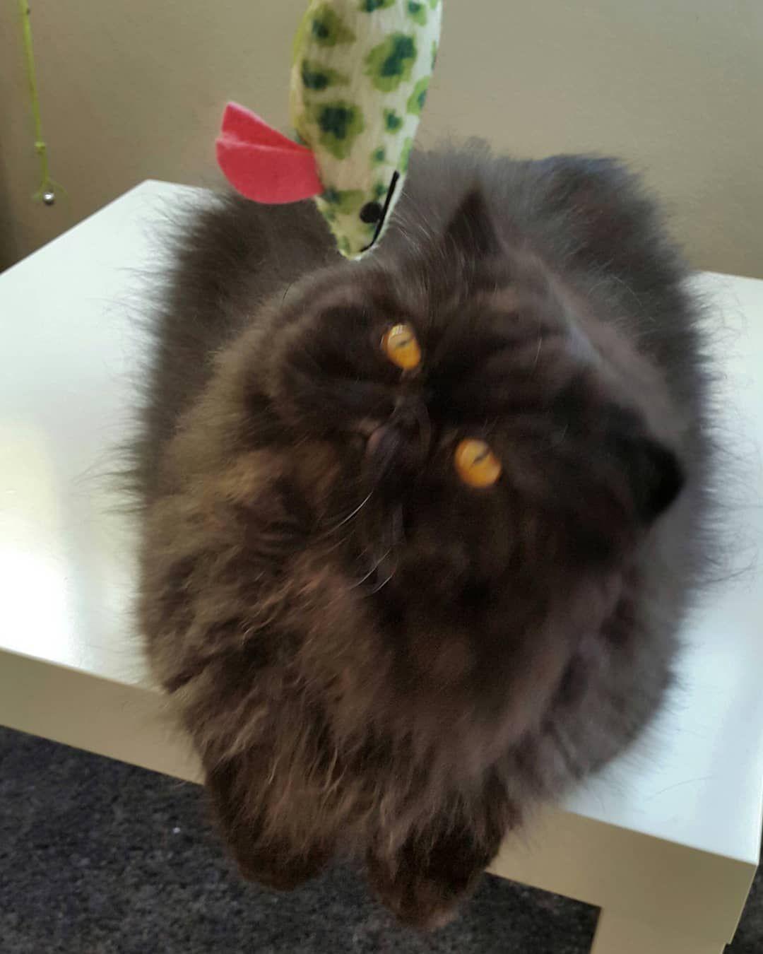 #ceazer #ceazeropersa #ceazerelpersa #cats #blackcat #bestcat #gatopersa #gato #gatoslindos #persa #persiancats #persian #persiancatlovers #catlovers #catsofig #meow #catstagram #instacat #ilovecats #ilovemycat #lovemycat #catlife #catslife #catofinsta #catofinstagram #dailycat #cutecat #happycatclub #lovelycats #catoftheday