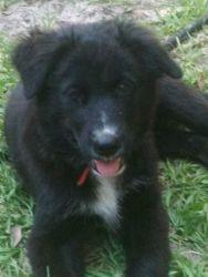 Adopt Reed On I Love Dogs Dogs Australian Shepherd