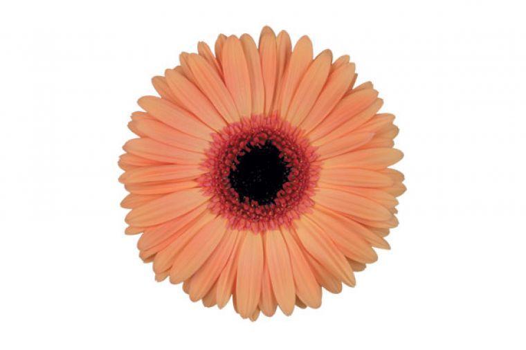 Preesman Plants Bv English Gerbera Standard Wholesale Flowers Flowers Uk Gerbera