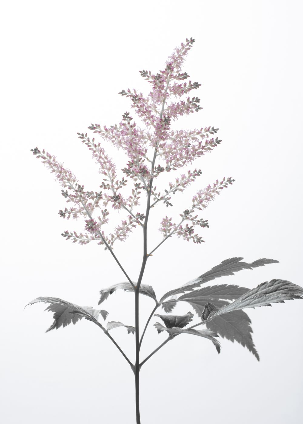 Astilbe Astilbe Flowers Photography Poster Prints