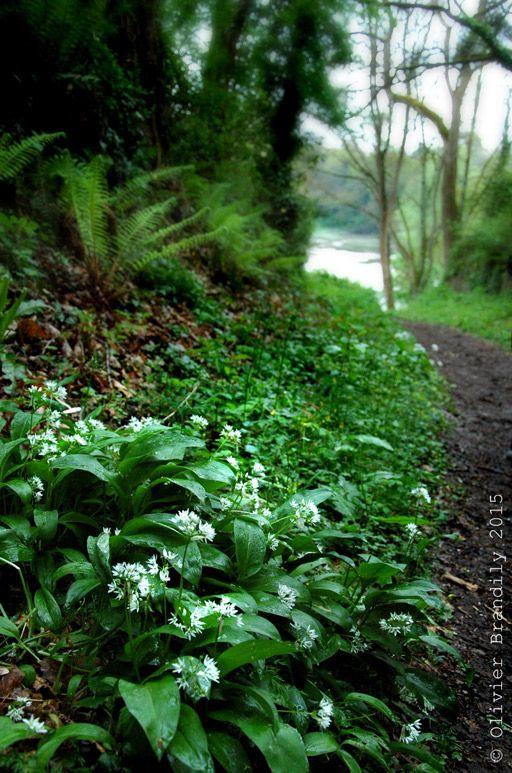 L'ail des ours, c'est maintenant ! | Plantes sauvages comestibles, Jardin francais, Plantes ...