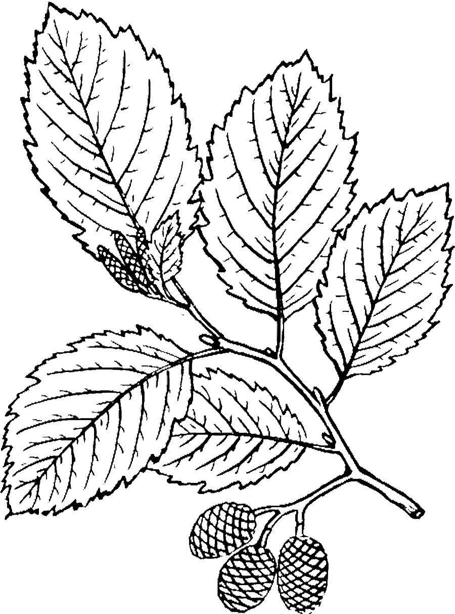 раскраска листья березы распечатать