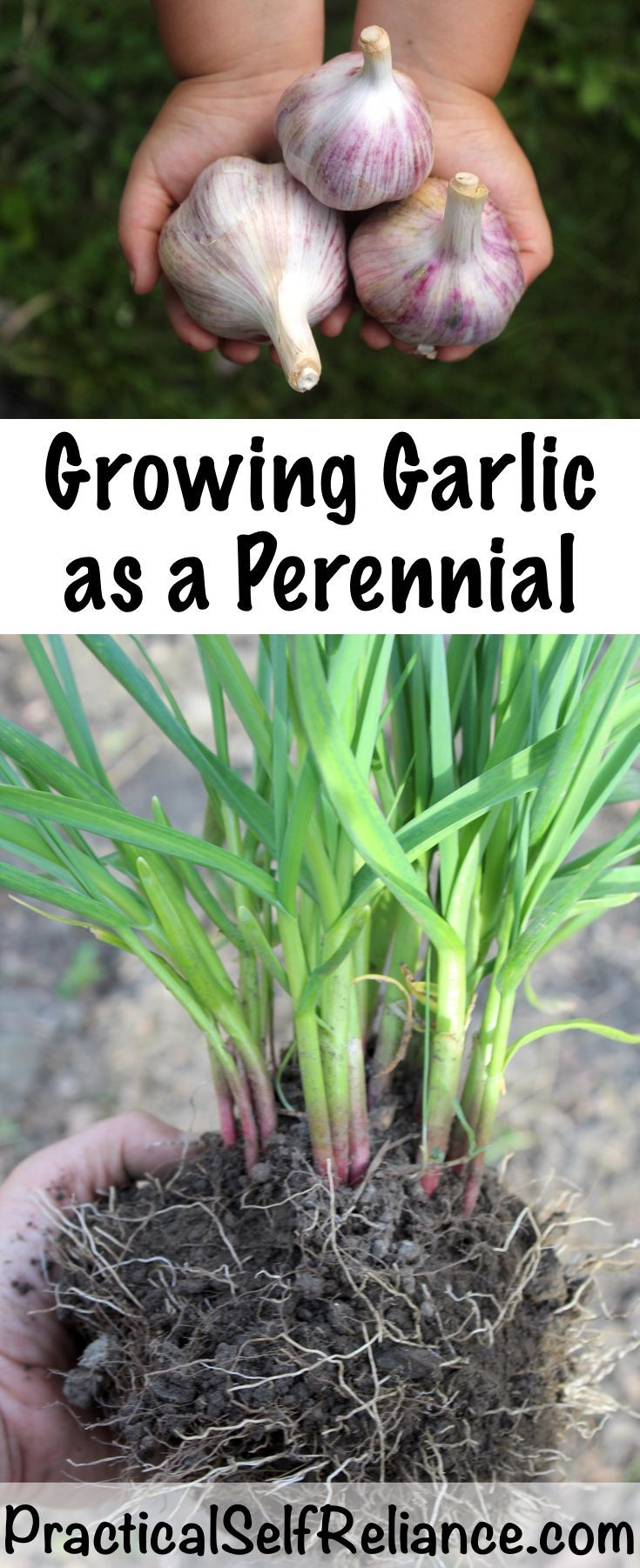 Growing Garlic as a Perennial is part of Growing garlic - While most plants are planted in the spring for fall harvest, garlic is just the
