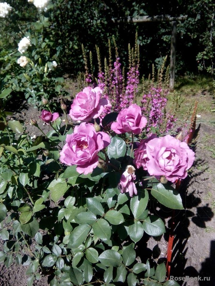 Садовые композиции с розами и сочетания сортов