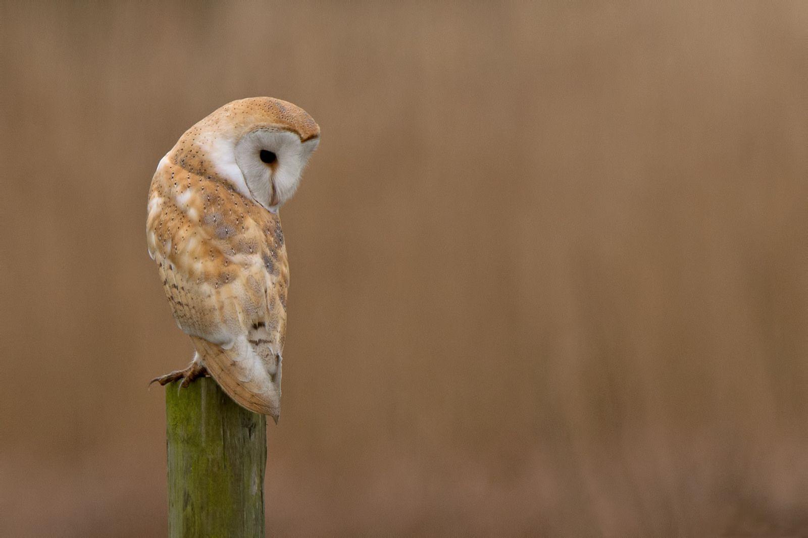 Barn Owl .....Mark Bowen photo