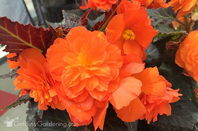 If You Think That Begonias Are Only Good For Growing In Your Garden And Outdoor Flower Pots Think Again Many Varieties Can Also Be In 2020 Plant Care Begonia Plants