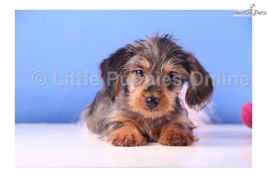 Meet Tulip A Cute Dachshund Mini Puppy For Sale For 499 Tulip Female Dorkie Puppies Mini Puppies Cute Animals