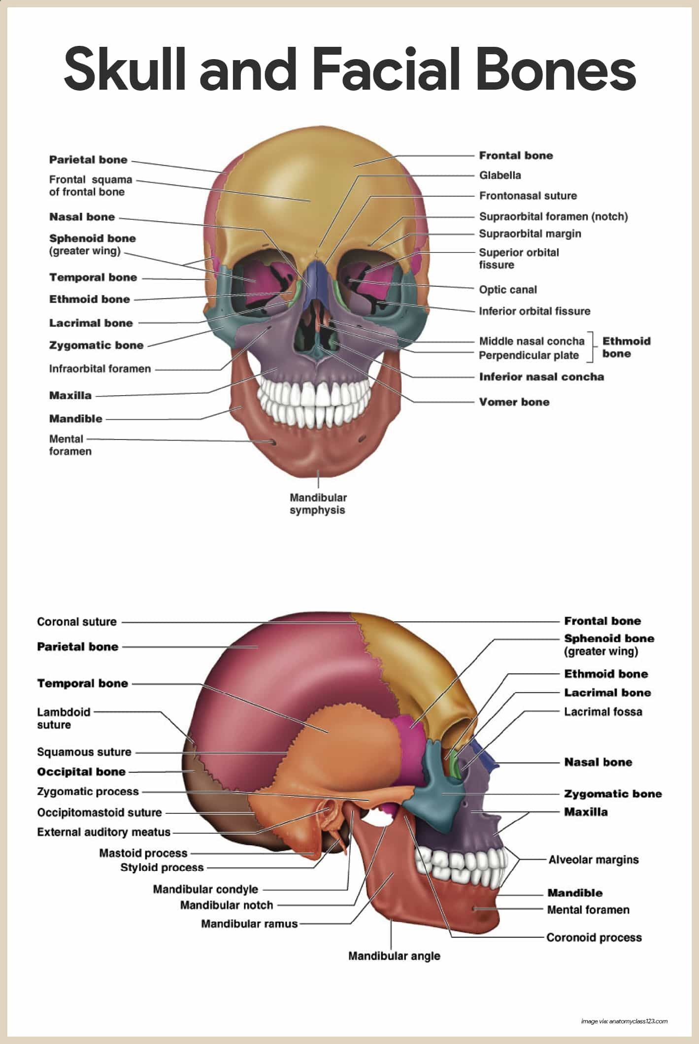 Skull and Facial Bones-Skeletal System Anatomy and Physiology for ...