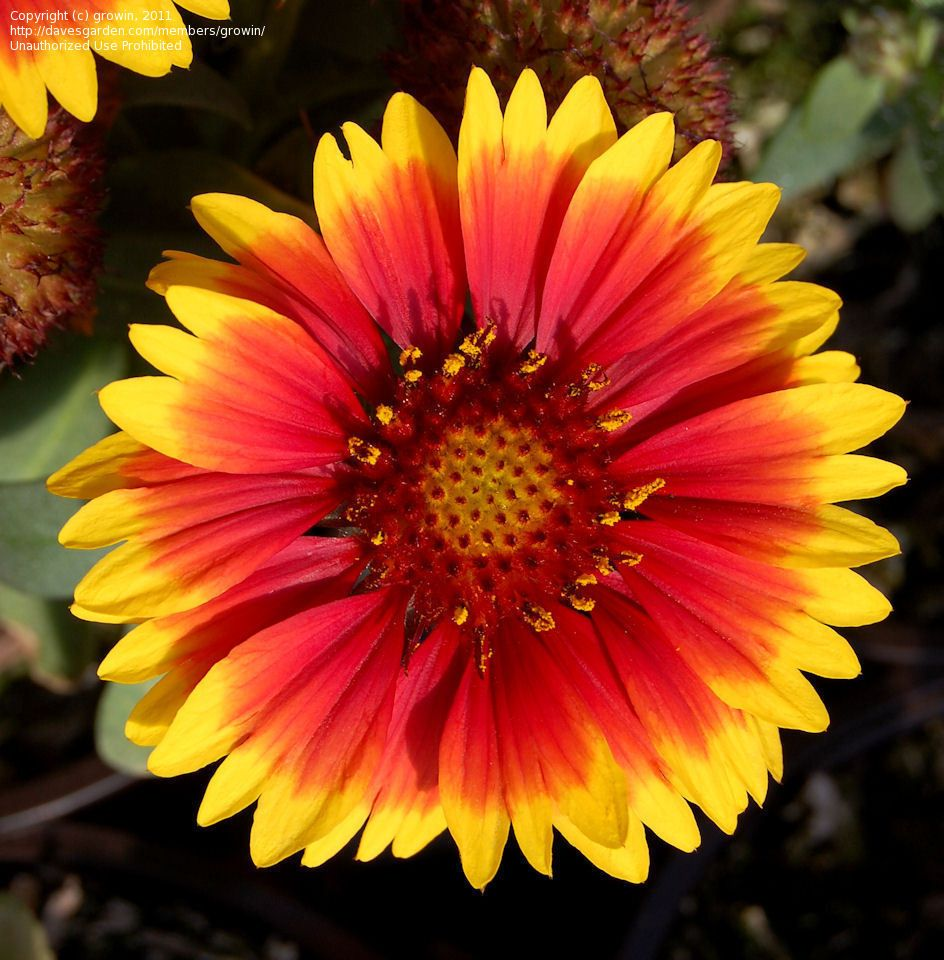 Indian Blanket Flower Google Search Indian Blanket Flower Indian Blankets Flowers