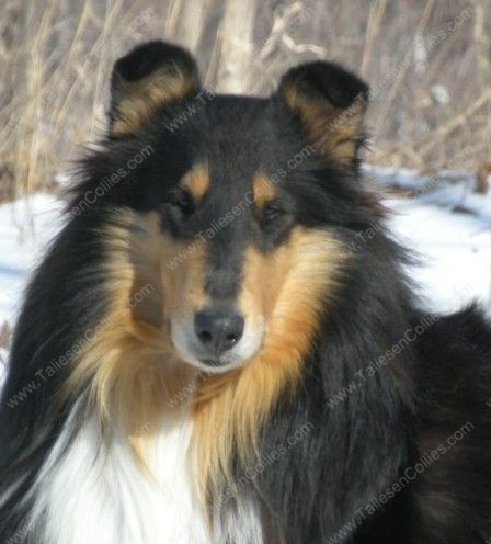 Taliesen Collies Some Of Our Collie Memories Rough Collie