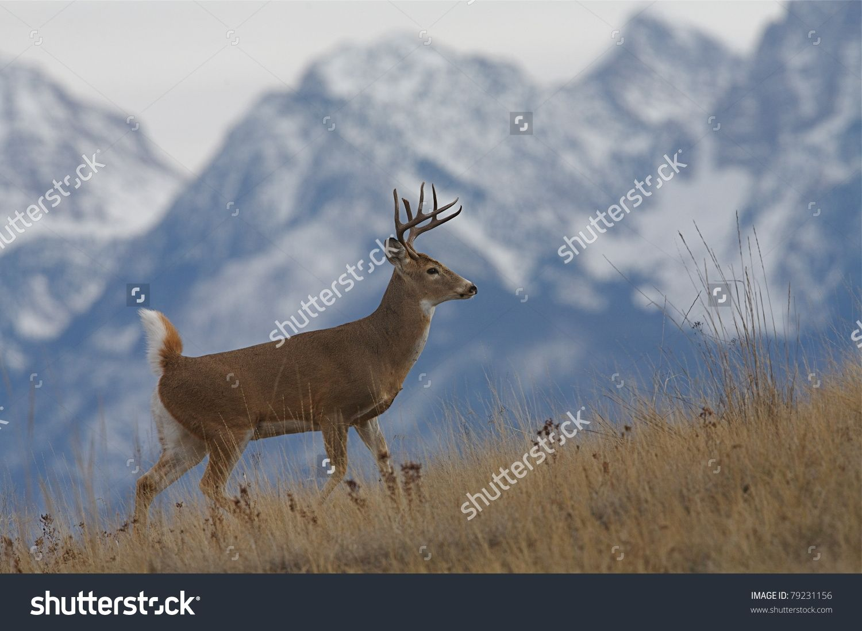 Beautiful whitetail deer buck desktop wallpaper dat nature hd beautiful whitetail deer buck desktop wallpaper dat nature voltagebd Image collections