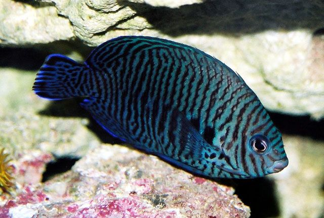 A Rare Axanthic Blue Potter S Angelfish Shows Blue And Black Markings Photo By Hiroyuki Tanaka Saltwater Fish Tanks Aquarium Fish Angel Fish