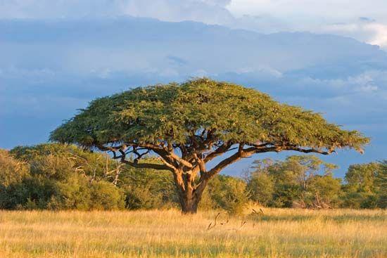 Acacia Tree Acacia Tree African Tree Hwange National Park