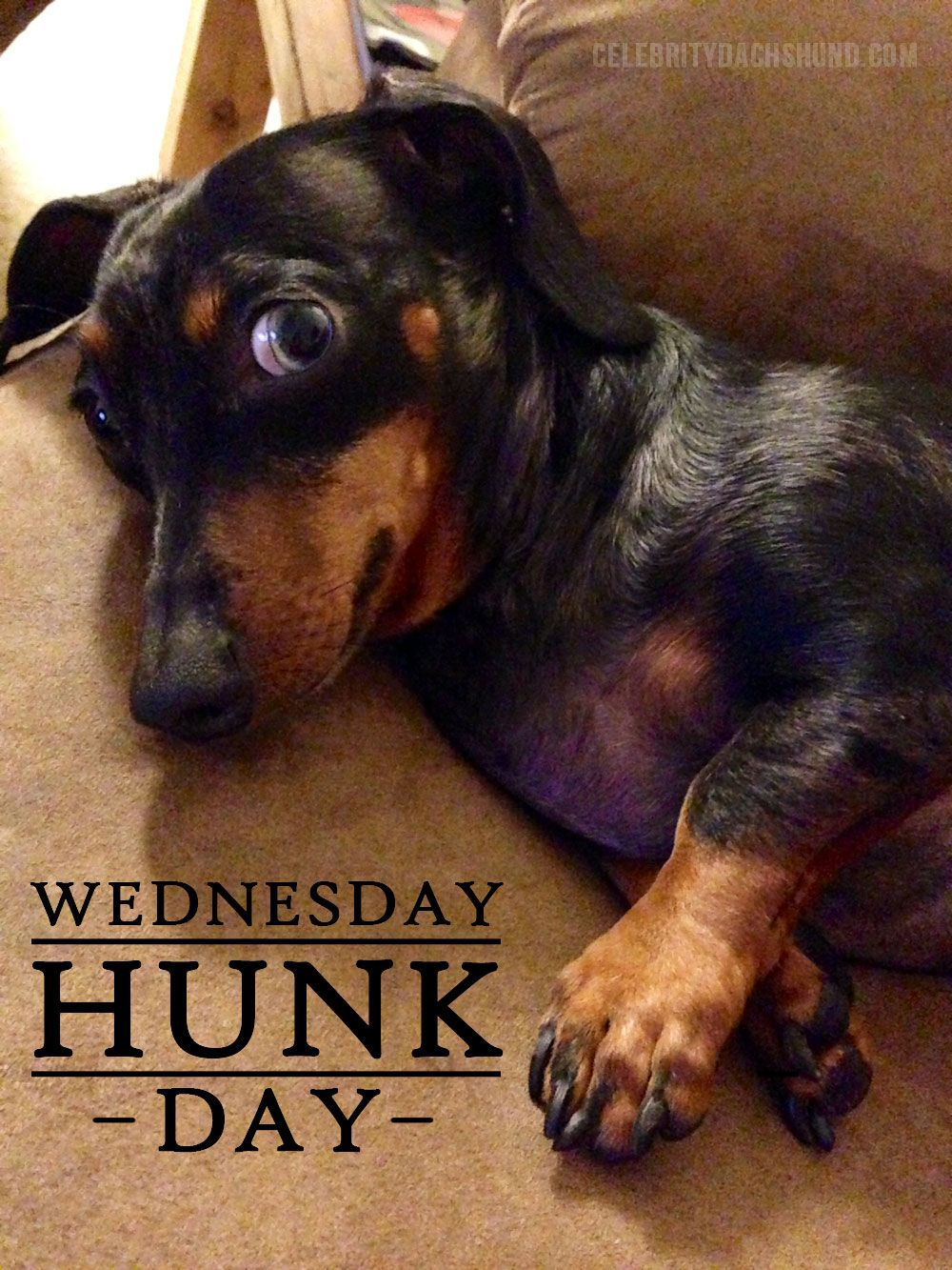 Today S Wednesday Hunk Is Hefeweizen From Dallas Texas Dogs Pets Dachshunds Facebook Com Sodoggonefunny Dengan Gambar