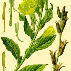 Illustration: Oenothera biennis