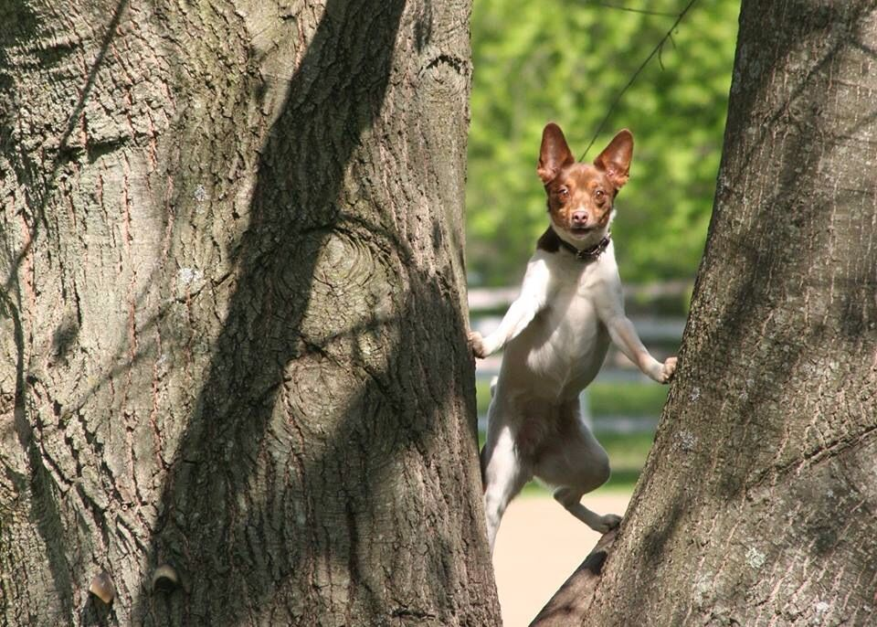 This is Chloe my rat terrier and master tree climber. Photograph by E. Utz