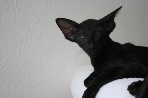 Orientalisch Kurzhaar Madchen In Ebony Katzen Orientalisch Kurzhaar Katzenbabys
