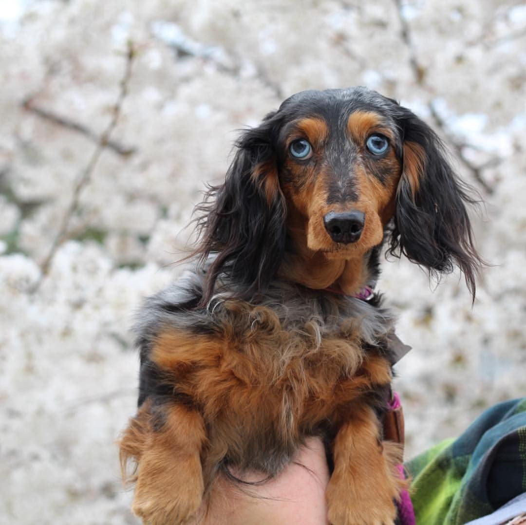 A Dapple Dachshund Posing Against The Cherry Blossoms In