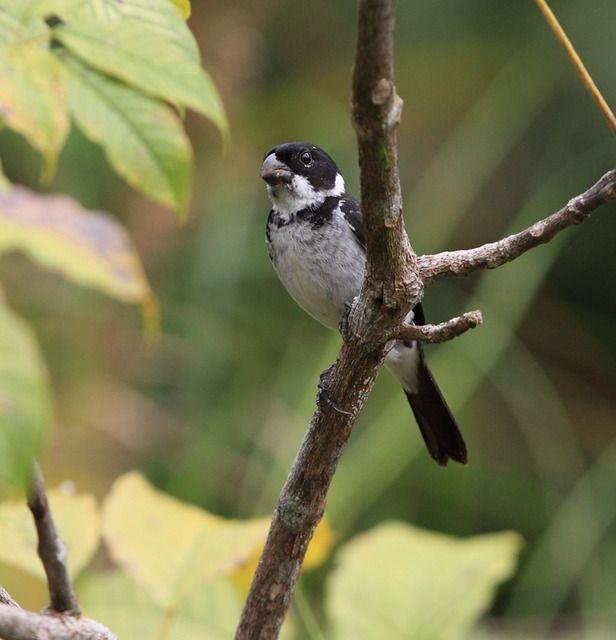 Foto coleiro-do-norte (Sporophila americana) por Anselmo d`Affonseca | Wiki Aves - A Enciclopédia das Aves do Brasil
