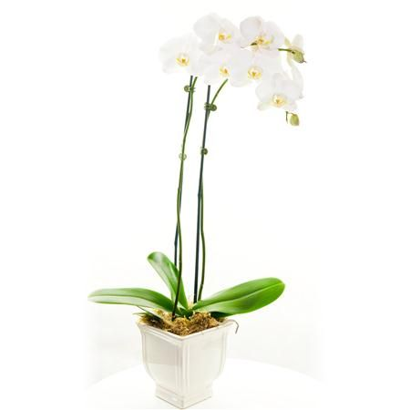 Orchid Phalaenopsis Double-Spike 4\