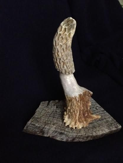 Peachy Large Morel Mushroom Carved From Deer Antler Mounted On Download Free Architecture Designs Barepgrimeyleaguecom