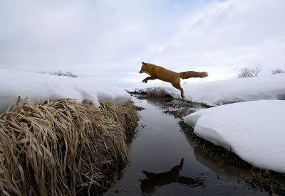 fox in motion photographed in russia's kronotsky national biosphere reserve