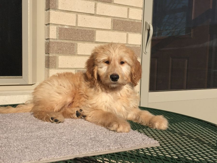 Puppies For Sale Golden Retrievers Goldendoodles In