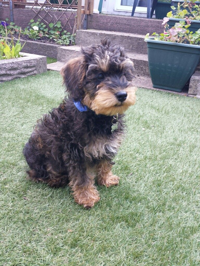 Chester The Black And Tan Puppy Schnoodle Schnoodle Dog Breeds Black And Tan
